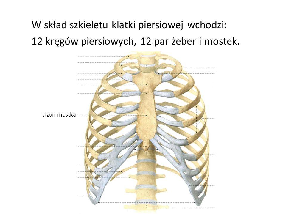 W skład szkieletu klatki piersiowej wchodzi: 12 kręgów piersiowych, 12 par żeber i mostek. trzon mostka