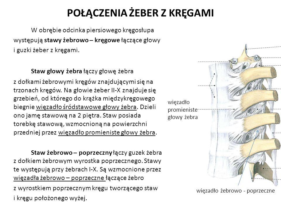 POŁĄCZENIA ŻEBER Z KRĘGAMI W obrębie odcinka piersiowego kręgosłupa występują stawy żebrowo – kręgowe łączące głowy i guzki żeber z kręgami. Staw głow