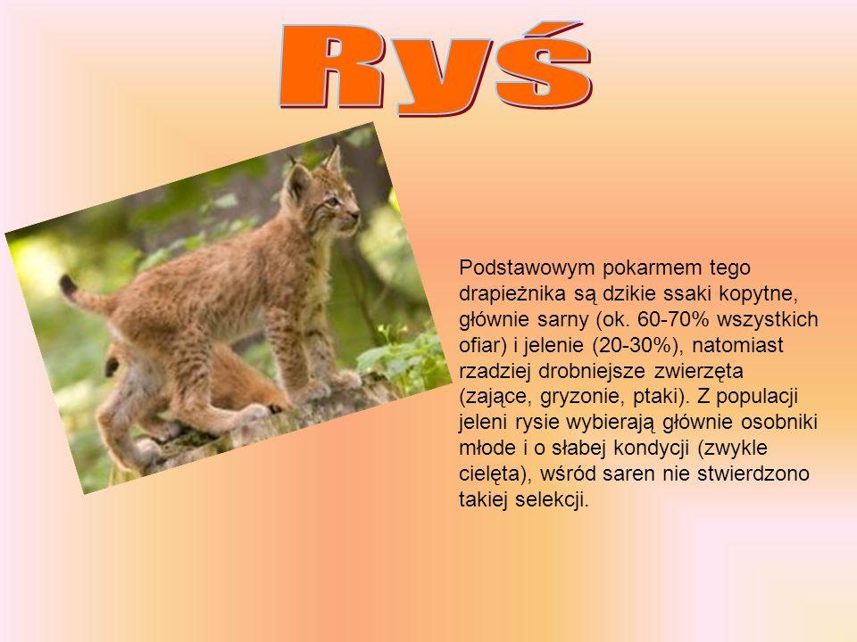 Podstawowym pokarmem tego drapieżnika są dzikie ssaki kopytne, głównie sarny (ok. 60-70% wszystkich ofiar) i jelenie (20-30%), natomiast rzadziej drob