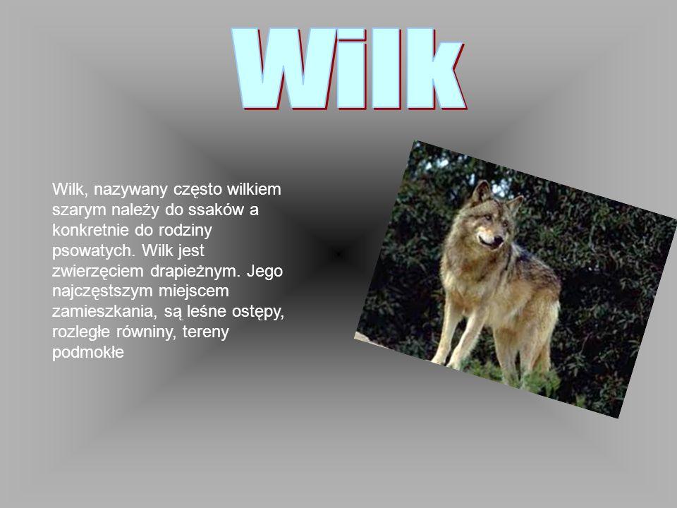 Wilk, nazywany często wilkiem szarym należy do ssaków a konkretnie do rodziny psowatych. Wilk jest zwierzęciem drapieżnym. Jego najczęstszym miejscem