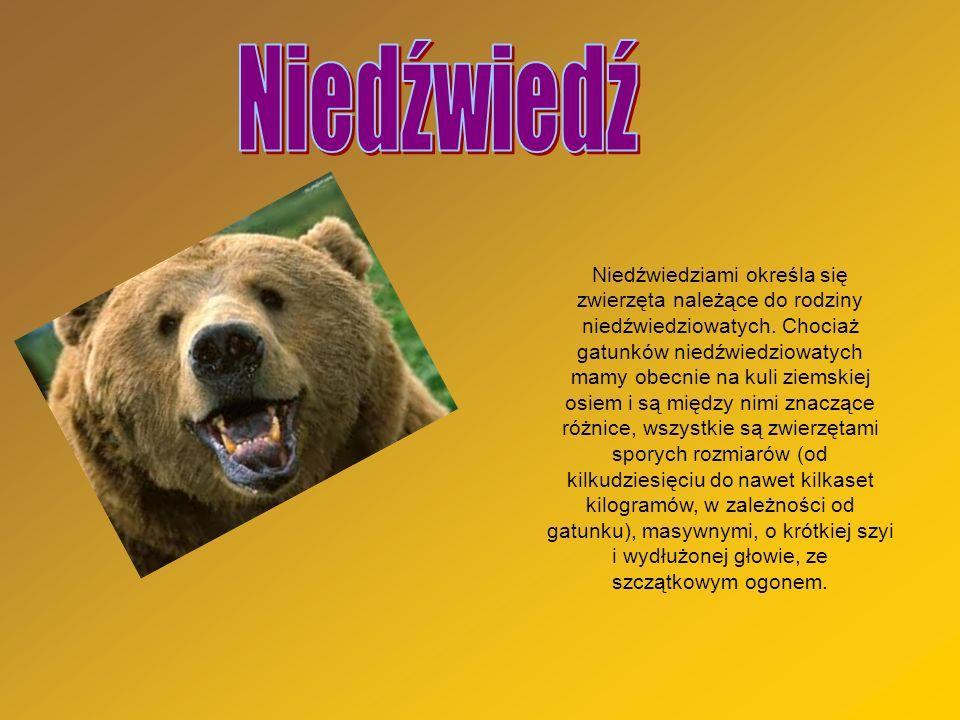 Niedźwiedziami określa się zwierzęta należące do rodziny niedźwiedziowatych. Chociaż gatunków niedźwiedziowatych mamy obecnie na kuli ziemskiej osiem