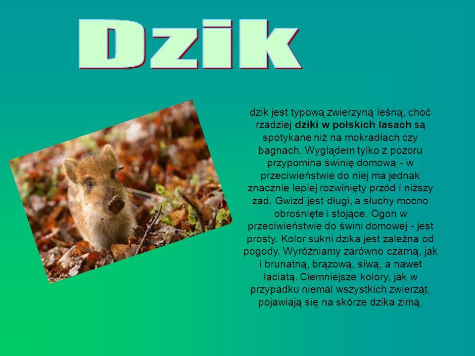 dzik jest typową zwierzyną leśną, choć rzadziej dziki w polskich lasach są spotykane niż na mokradłach czy bagnach. Wyglądem tylko z pozoru przypomina