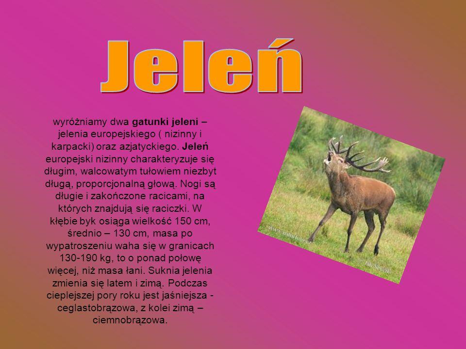 wyróżniamy dwa gatunki jeleni – jelenia europejskiego ( nizinny i karpacki) oraz azjatyckiego. Jeleń europejski nizinny charakteryzuje się długim, wal