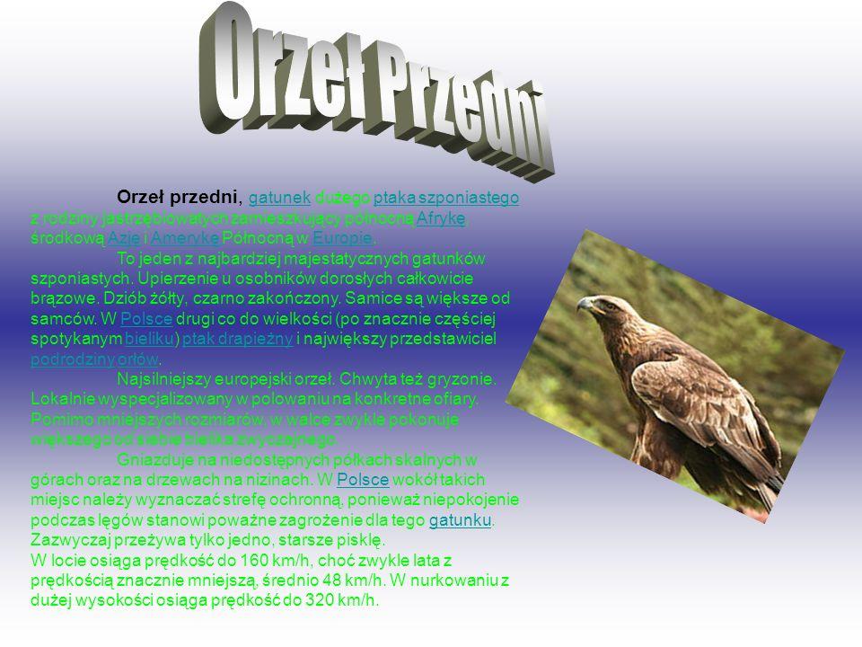 Orzeł przedni, gatunek dużego ptaka szponiastego z rodziny jastrzębiowatych zamieszkujący północną Afrykę, środkową Azję i Amerykę Północną w Europie.