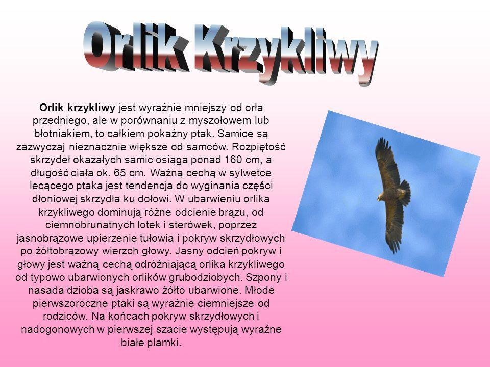 Orlik krzykliwy jest wyraźnie mniejszy od orła przedniego, ale w porównaniu z myszołowem lub błotniakiem, to całkiem pokaźny ptak. Samice są zazwyczaj