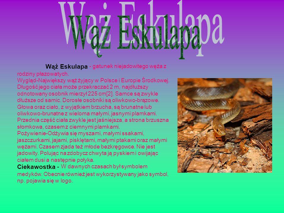 Wąż Eskulapa - gatunek niejadowitego węża z rodziny płazowatych. Wygląd-Największy wąż żyjący w Polsce i Europie Środkowej. Długość jego ciała może pr