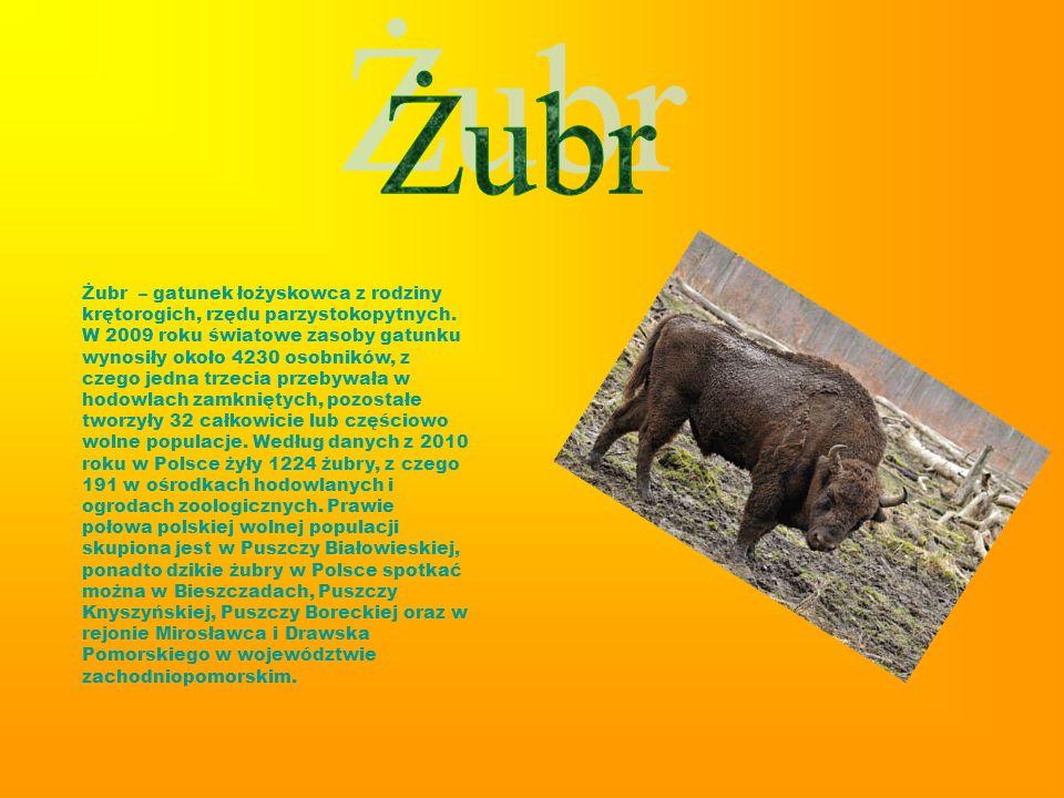 Żubr – gatunek łożyskowca z rodziny krętorogich, rzędu parzystokopytnych. W 2009 roku światowe zasoby gatunku wynosiły około 4230 osobników, z czego j