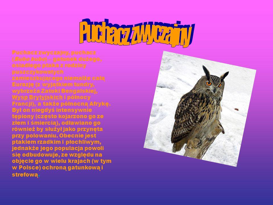 Puchacz zwyczajny, puchacz (Bubo bubo) – gatunek dużego, osiadłego ptaka z rodziny puszczykowatych zamieszkującego niemalże całą Eurazję (z wyjątkiem