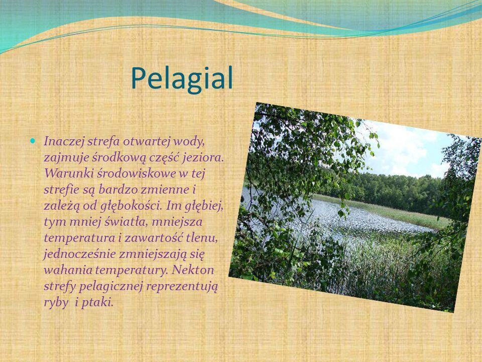 Pelagial Inaczej strefa otwartej wody, zajmuje środkową część jeziora. Warunki środowiskowe w tej strefie są bardzo zmienne i zależą od głębokości. Im