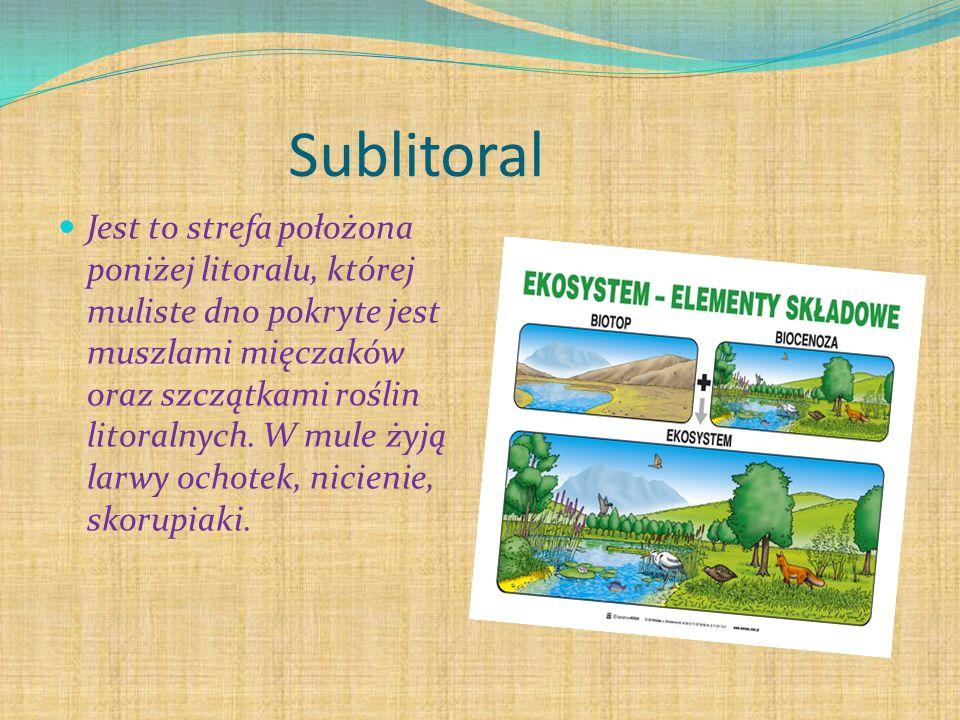 Sublitoral Jest to strefa położona poniżej litoralu, której muliste dno pokryte jest muszlami mięczaków oraz szczątkami roślin litoralnych. W mule żyj