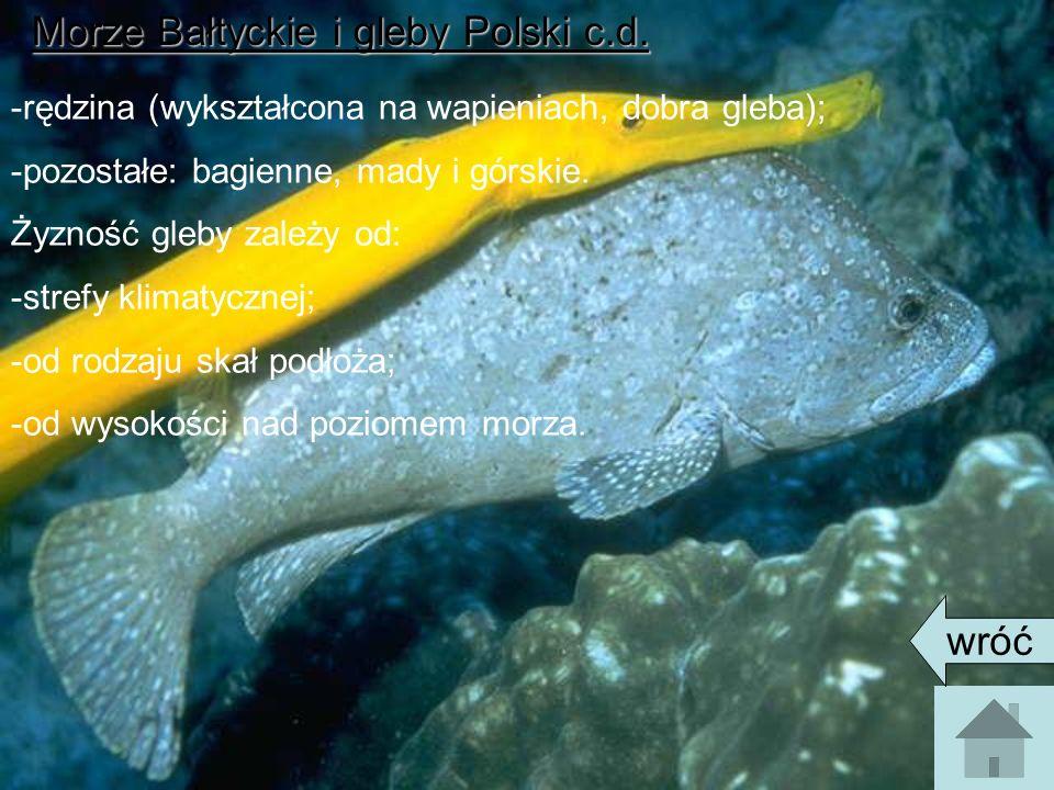 Morze Bałtyckie i gleby Polski c.d. -rędzina (wykształcona na wapieniach, dobra gleba); -pozostałe: bagienne, mady i górskie. Żyzność gleby zależy od: