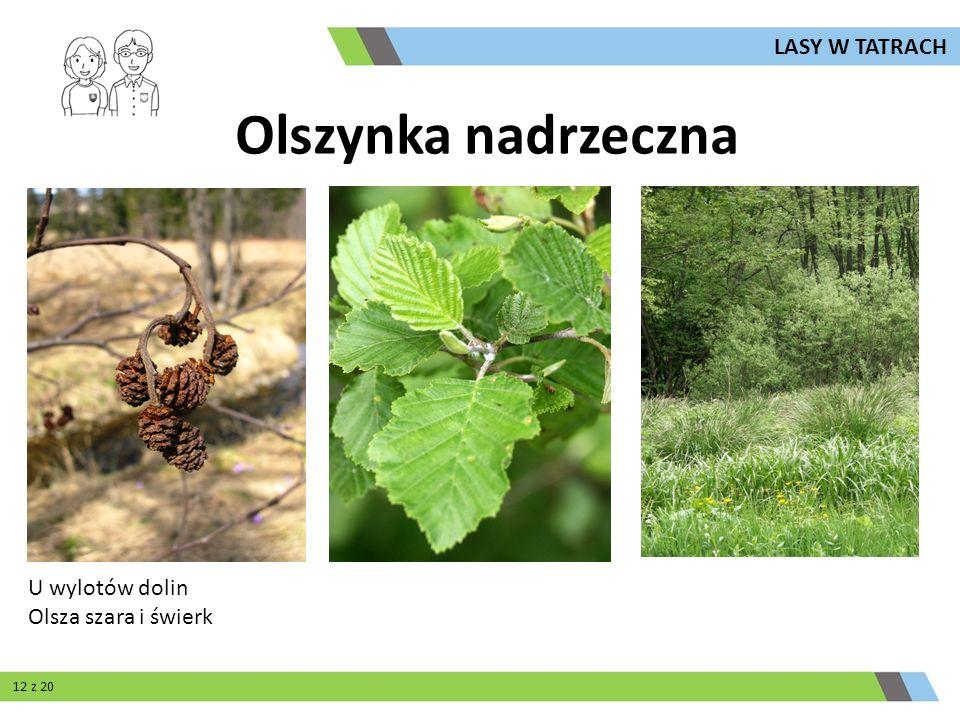 Olszynka nadrzeczna U wylotów dolin Olsza szara i świerk LASY W TATRACH 12 z 20