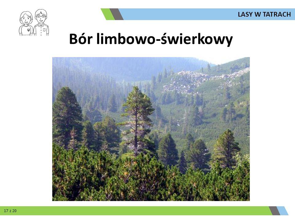 Bór limbowo-świerkowy LASY W TATRACH 17 z 20