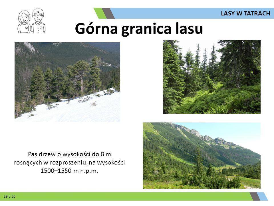 Górna granica lasu Pas drzew o wysokości do 8 m rosnących w rozproszeniu, na wysokości 1500–1550 m n.p.m. LASY W TATRACH 19 z 20