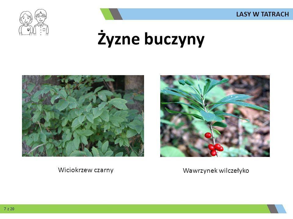 Wiciokrzew czarny Wawrzynek wilczełyko Żyzne buczyny LASY W TATRACH 7 z 20