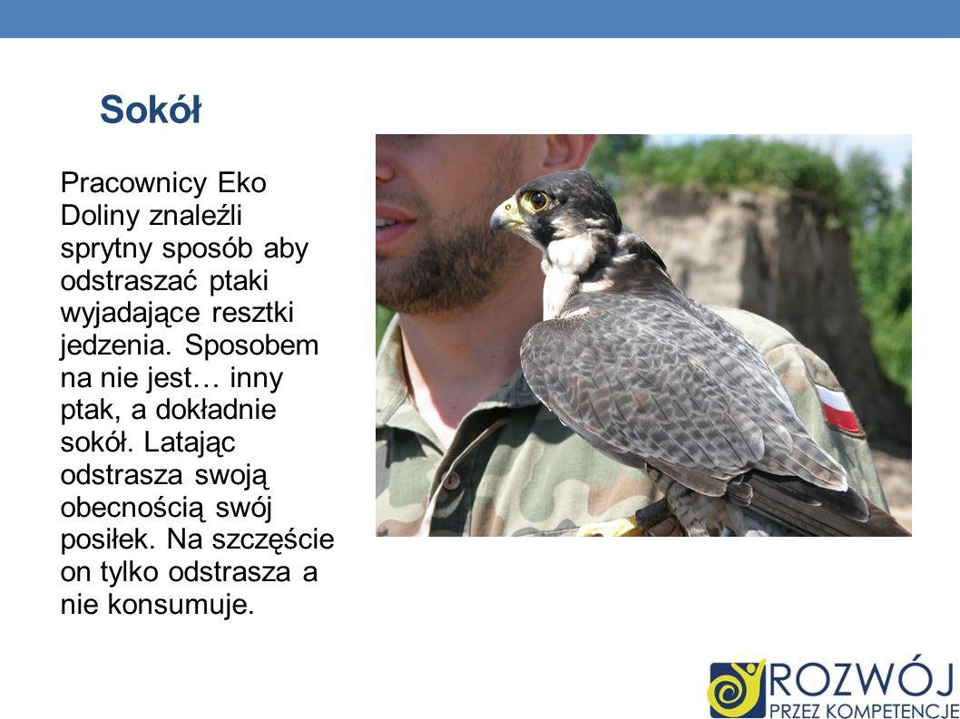 Sokół Pracownicy Eko Doliny znaleźli sprytny sposób aby odstraszać ptaki wyjadające resztki jedzenia. Sposobem na nie jest… inny ptak, a dokładnie sok