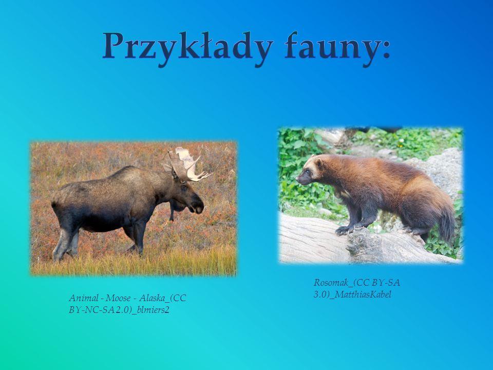 Animal - Moose - Alaska_(CC BY-NC-SA 2.0)_blmiers2 Rosomak_(CC BY-SA 3.0)_MatthiasKabel