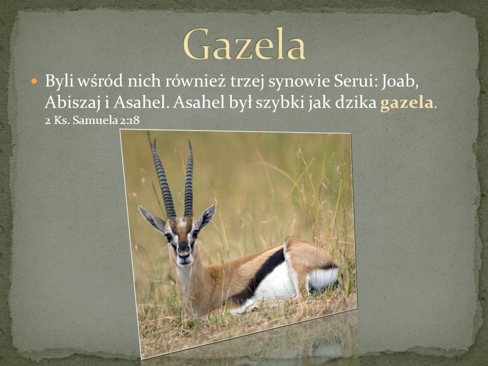 Byli wśród nich również trzej synowie Serui: Joab, Abiszaj i Asahel. Asahel był szybki jak dzika gazela. 2 Ks. Samuela 2:18