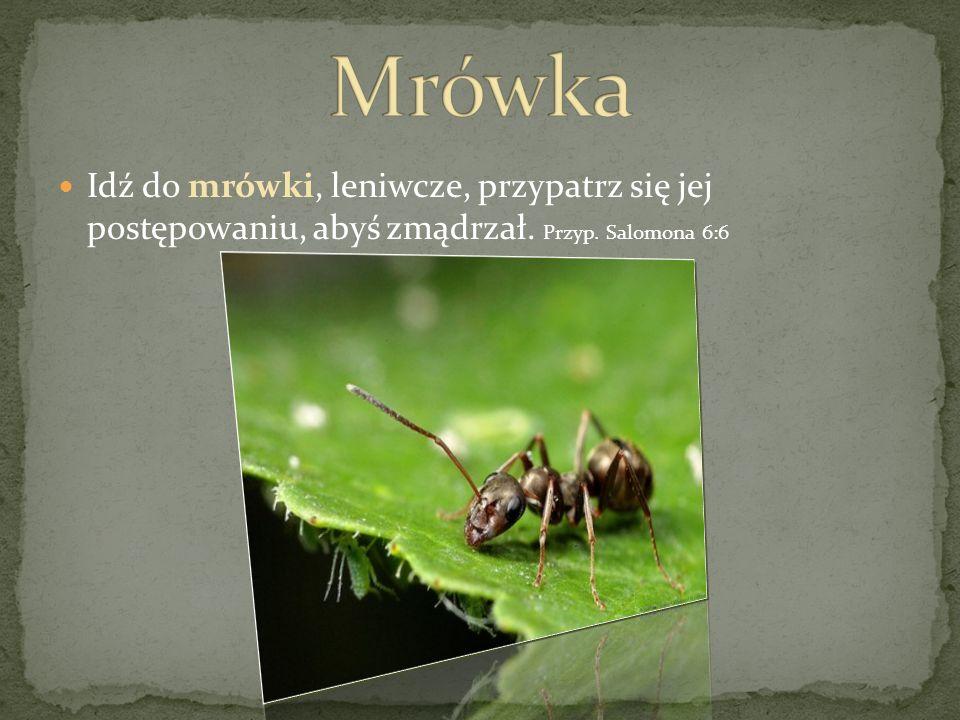 Idź do mrówki, leniwcze, przypatrz się jej postępowaniu, abyś zmądrzał. Przyp. Salomona 6:6