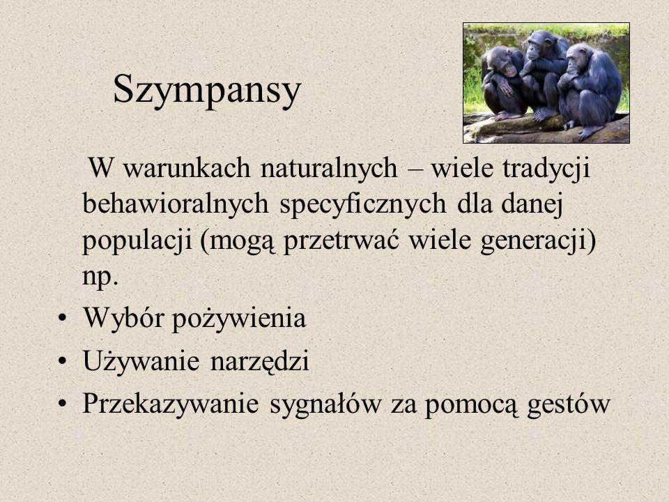Szympansy W warunkach naturalnych – wiele tradycji behawioralnych specyficznych dla danej populacji (mogą przetrwać wiele generacji) np. Wybór pożywie