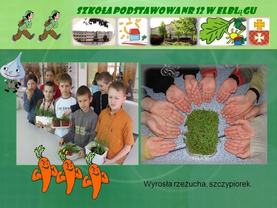 Szkoła Podstawowa Nr 12 w Elbl ą gu Wyrosła rzeżucha, szczypiorek.