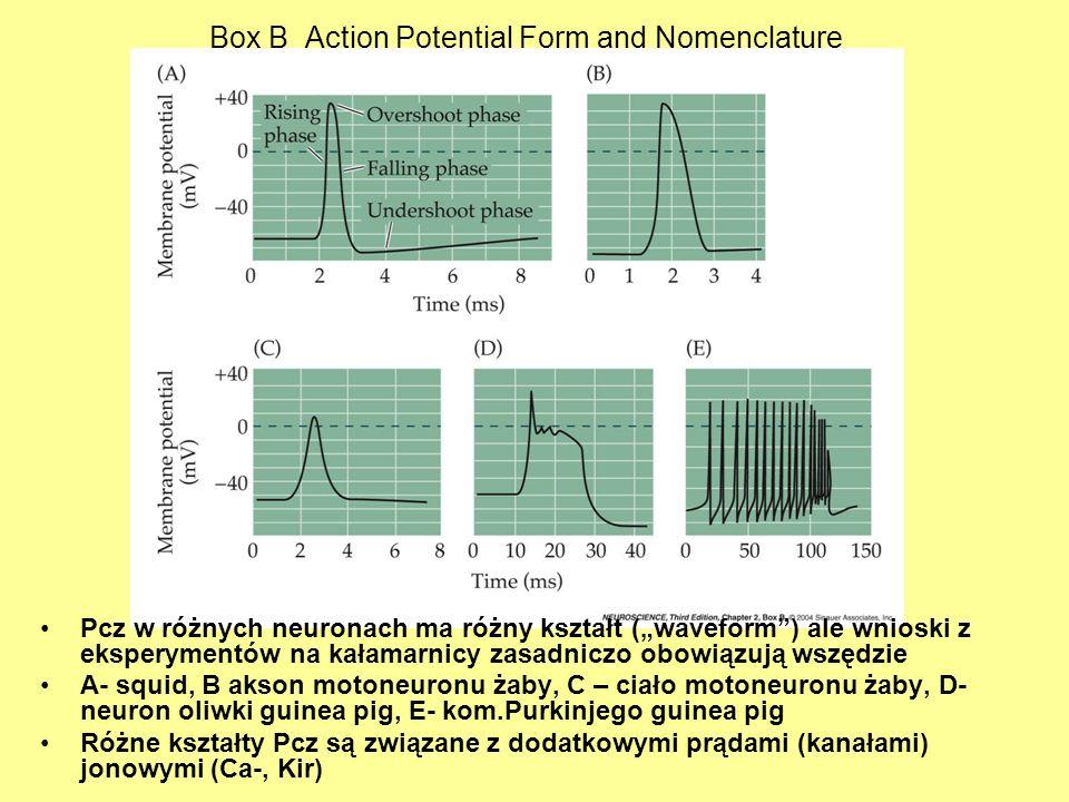 Box B Action Potential Form and Nomenclature Pcz w różnych neuronach ma różny kształt (waveform) ale wnioski z eksperymentów na kałamarnicy zasadniczo
