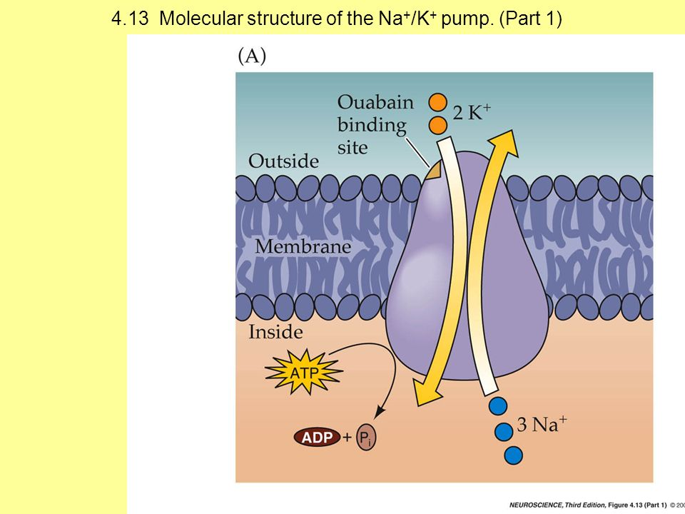 4.13 Molecular structure of the Na + /K + pump. (Part 1)
