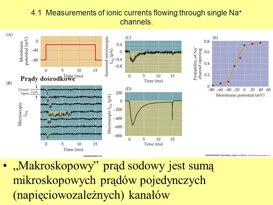 4.1 Measurements of ionic currents flowing through single Na + channels. Makroskopowy prąd sodowy jest sumą mikroskopowych prądów pojedynczych (napięc