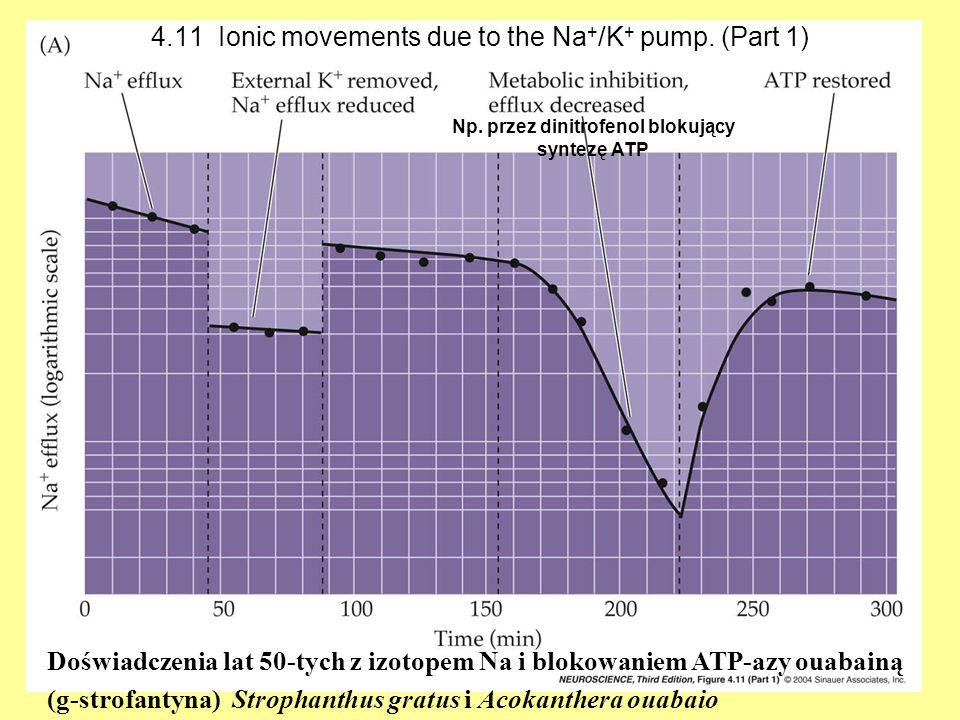 4.11 Ionic movements due to the Na + /K + pump. (Part 1) Doświadczenia lat 50-tych z izotopem Na i blokowaniem ATP-azy ouabainą (g-strofantyna) Stroph