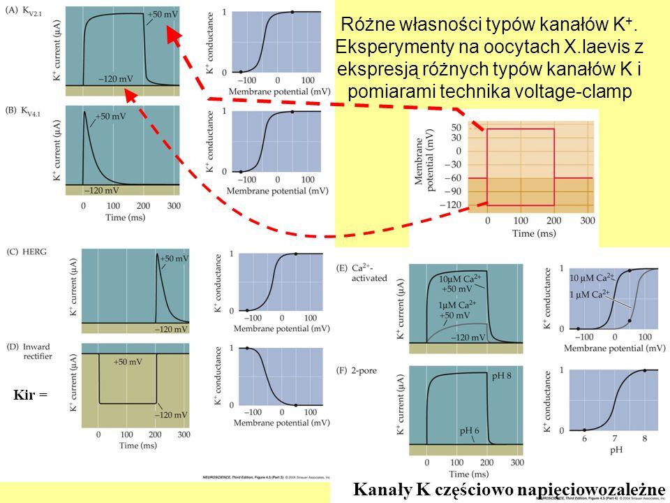 Różne własności typów kanałów K +. Eksperymenty na oocytach X.laevis z ekspresją różnych typów kanałów K i pomiarami technika voltage-clamp Kanały K c