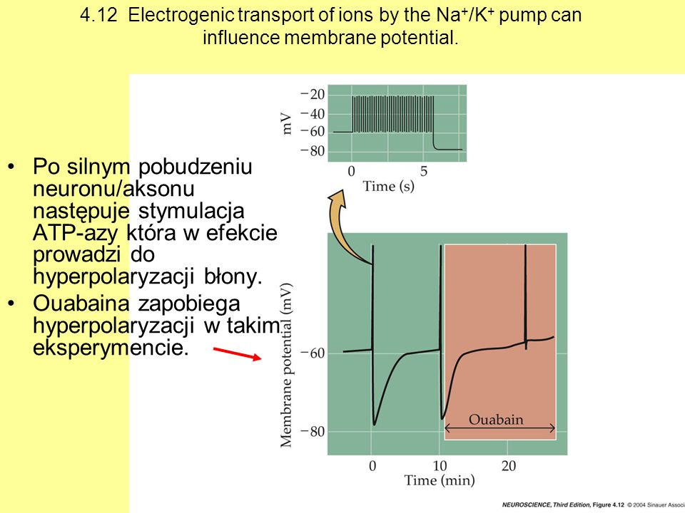 4.12 Electrogenic transport of ions by the Na + /K + pump can influence membrane potential. Po silnym pobudzeniu neuronu/aksonu następuje stymulacja A