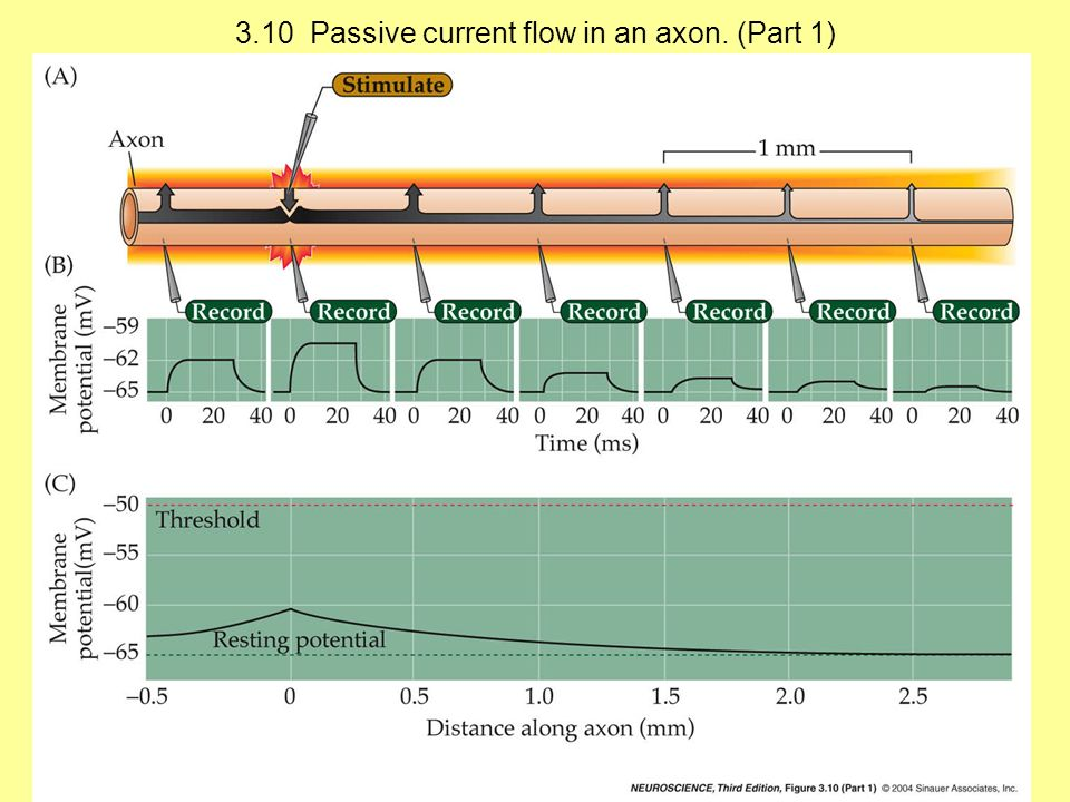3.10 Passive current flow in an axon. (Part 1)