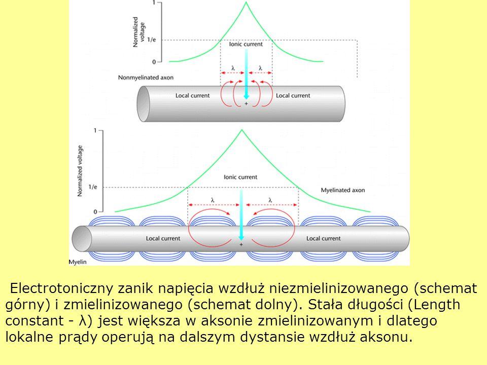 Electrotoniczny zanik napięcia wzdłuż niezmielinizowanego (schemat górny) i zmielinizowanego (schemat dolny). Stała długości (Length constant - λ) jes