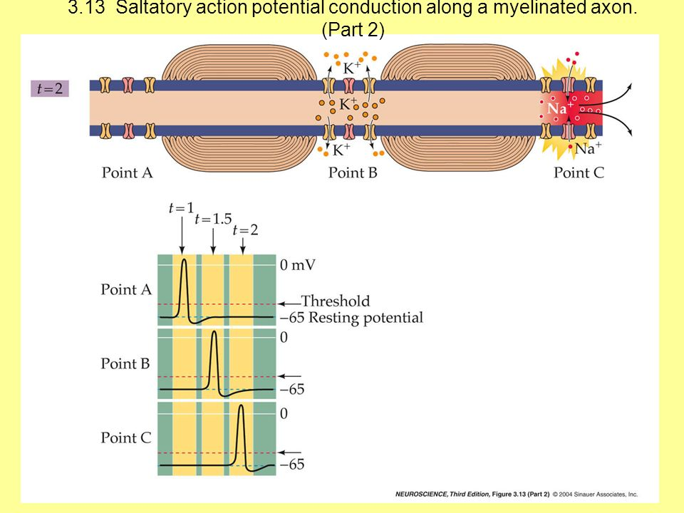 3.13 Saltatory action potential conduction along a myelinated axon. (Part 2)