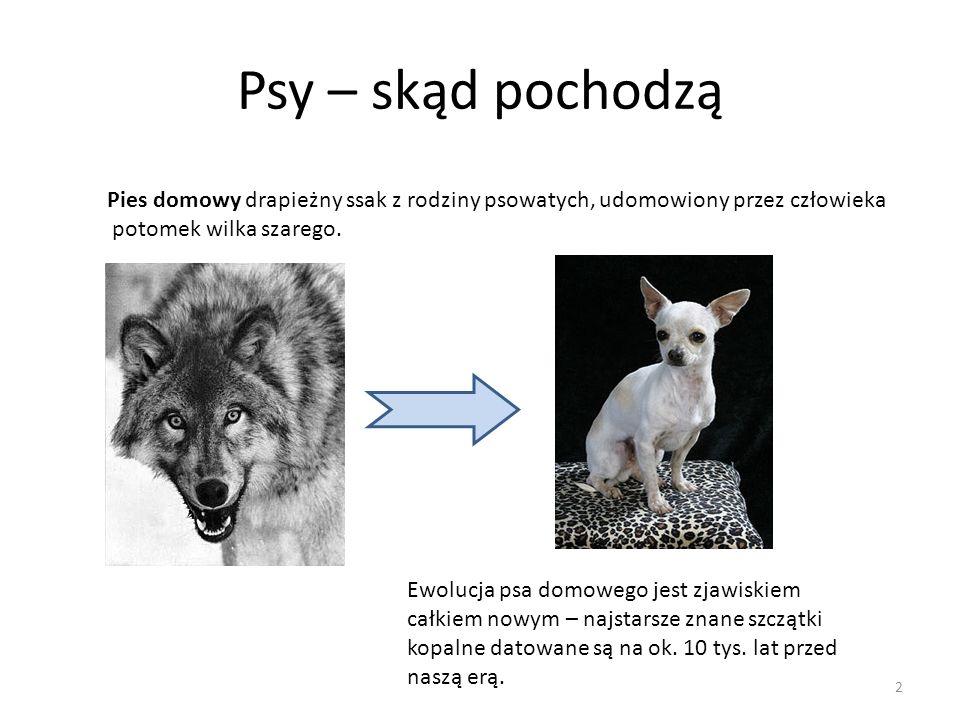 Psy – skąd pochodzą Pies domowy drapieżny ssak z rodziny psowatych, udomowiony przez człowieka potomek wilka szarego.