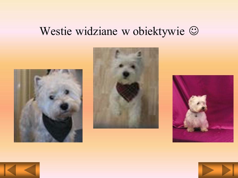West Highland White Terrier - jedna z ras psów. Pies o nieskazitelnie białej sierści - ulubiony obiekt kampanii reklamowych. Uwieczniony na etykiecie