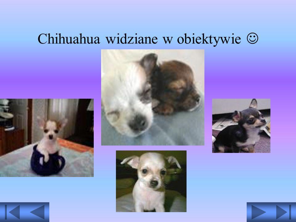 Chihuahua to rasa najmniejszych psów świata o bardzo długiej historii. Nazwa jej pochodzi od meksykańskiego stanu Chihuahua. Powstała ona w Meksyku w