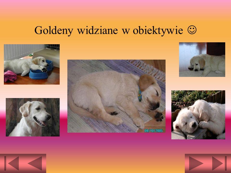 Golden Retrievery to doskonałe psy myśliwskie i