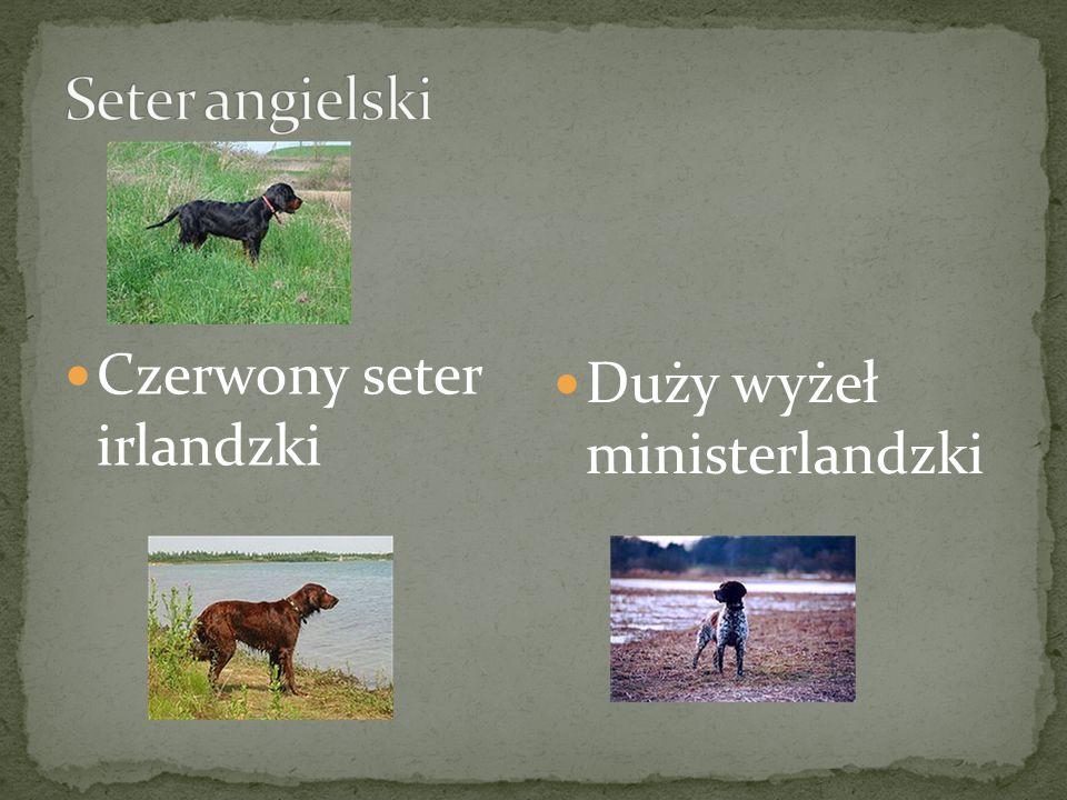 weimarski węgierski szorstkowłosy