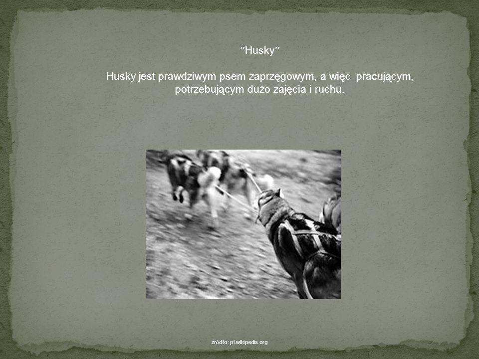 borzoja, którego charakteryzuje przepiękna szata, charta angielskiego - greyhounda, charta irlandzkiego nazywanego wilczarzem (najwyższy pies), charty