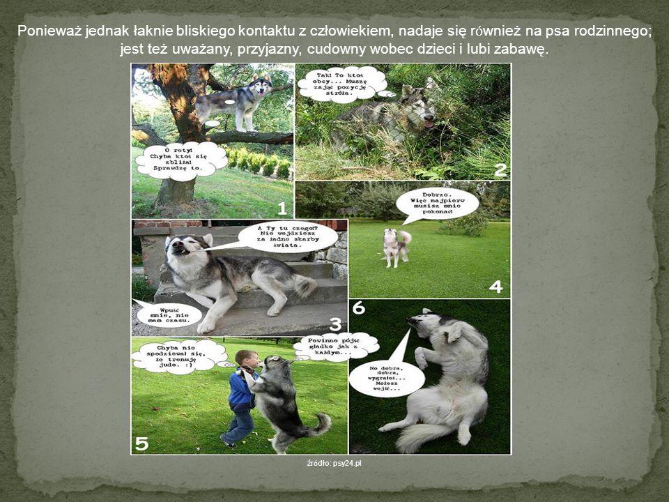 Husky Husky jest prawdziwym psem zaprzęgowym, a więc pracującym, potrzebującym dużo zajęcia i ruchu. źr ó dło: pl.wikipedia.org