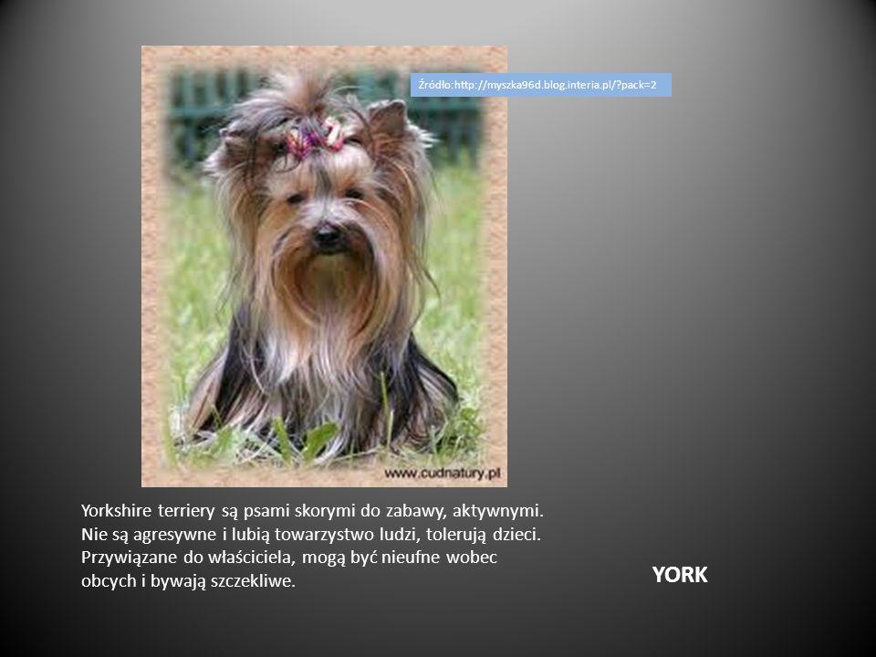 YORK Yorkshire terriery są psami skorymi do zabawy, aktywnymi. Nie są agresywne i lubią towarzystwo ludzi, tolerują dzieci. Przywiązane do właściciela
