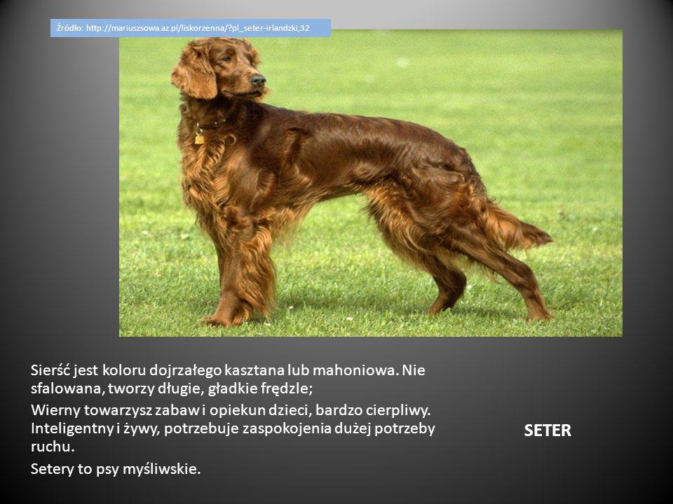 PUDEL Pies wykorzystywany dawniej do polowań, głównie na ptactwo wodne, dziś pełni przeważnie funkcje reprezentacyjne.