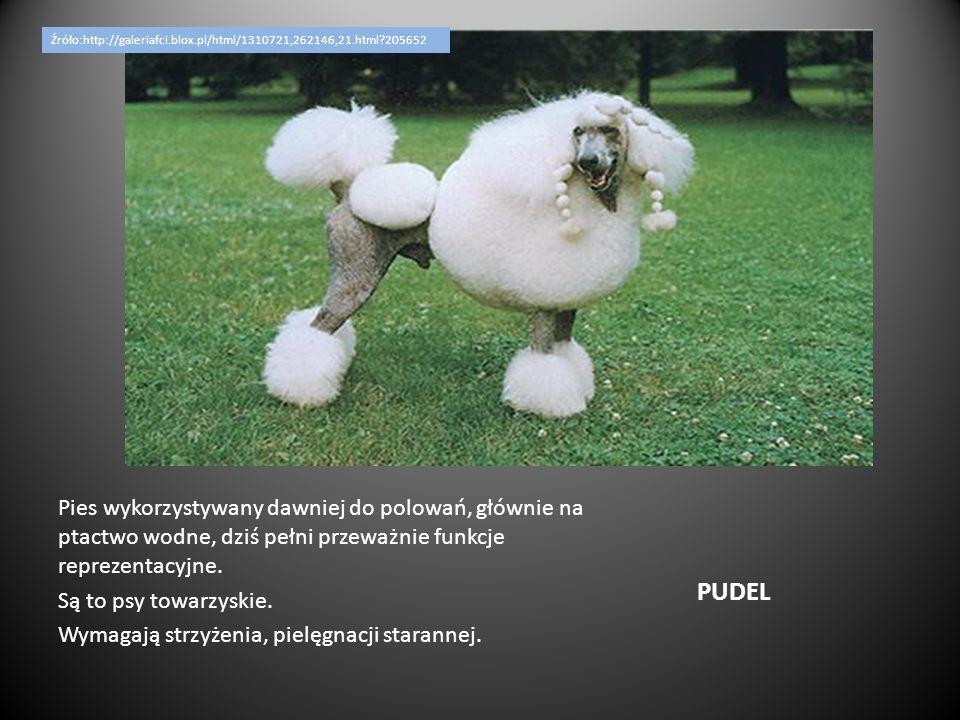 PUDEL Pies wykorzystywany dawniej do polowań, głównie na ptactwo wodne, dziś pełni przeważnie funkcje reprezentacyjne. Są to psy towarzyskie. Wymagają
