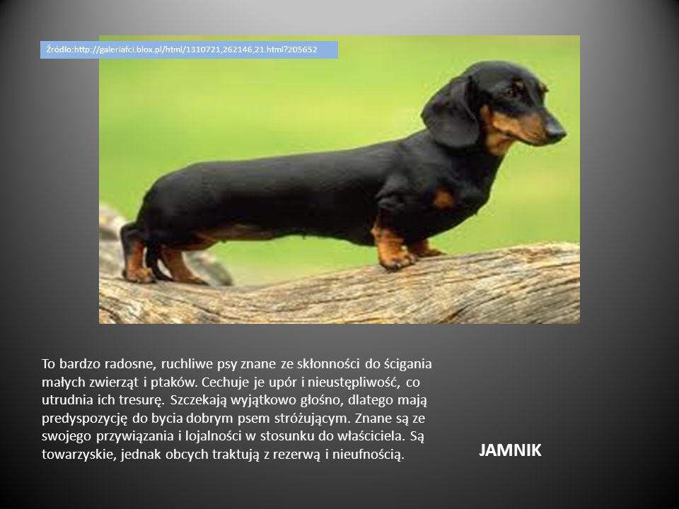 JAMNIK To bardzo radosne, ruchliwe psy znane ze skłonności do ścigania małych zwierząt i ptaków. Cechuje je upór i nieustępliwość, co utrudnia ich tre