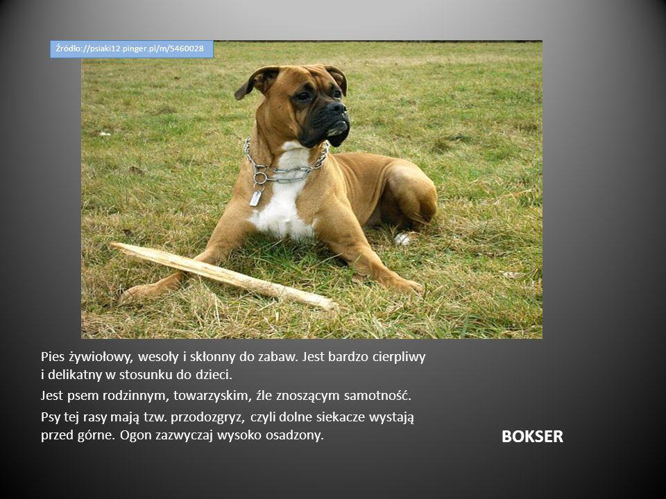BOKSER Pies żywiołowy, wesoły i skłonny do zabaw. Jest bardzo cierpliwy i delikatny w stosunku do dzieci. Jest psem rodzinnym, towarzyskim, źle znoszą