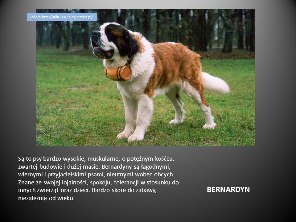 BERNARDYN Są to psy bardzo wysokie, muskularne, o potężnym kośćcu, zwartej budowie i dużej masie. Bernardyny są łagodnymi, wiernymi i przyjacielskimi