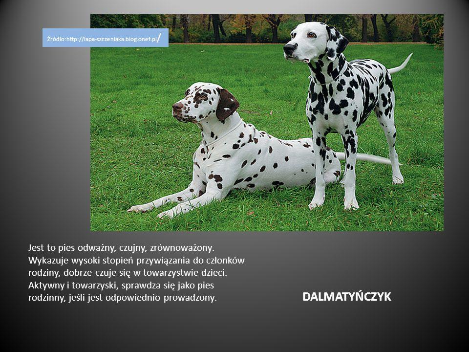 DALMATYŃCZYK Jest to pies odważny, czujny, zrównoważony. Wykazuje wysoki stopień przywiązania do członków rodziny, dobrze czuje się w towarzystwie dzi