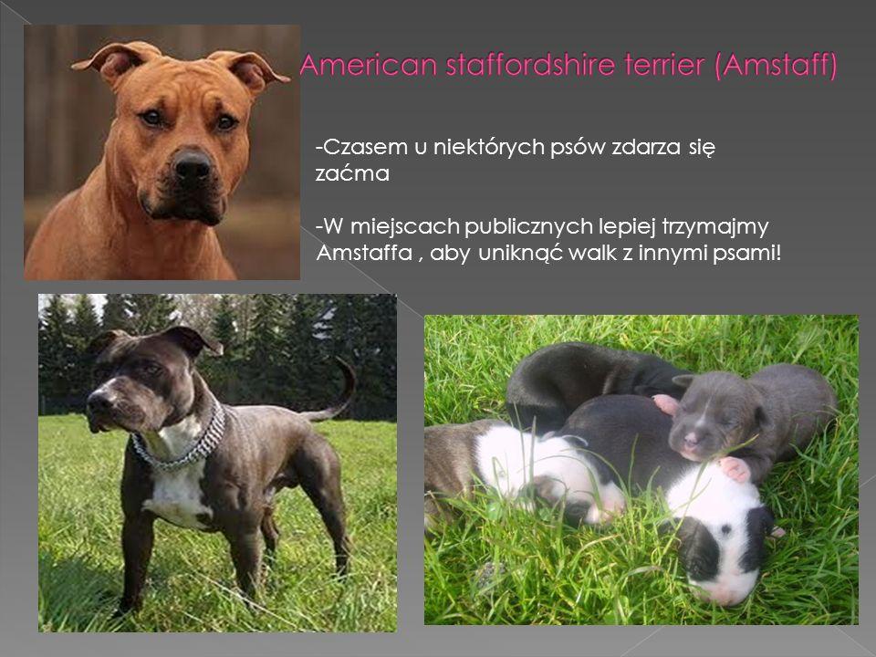 -Te psy podatne są na dysplazję stawów biodrowych i schorzenia oczu.