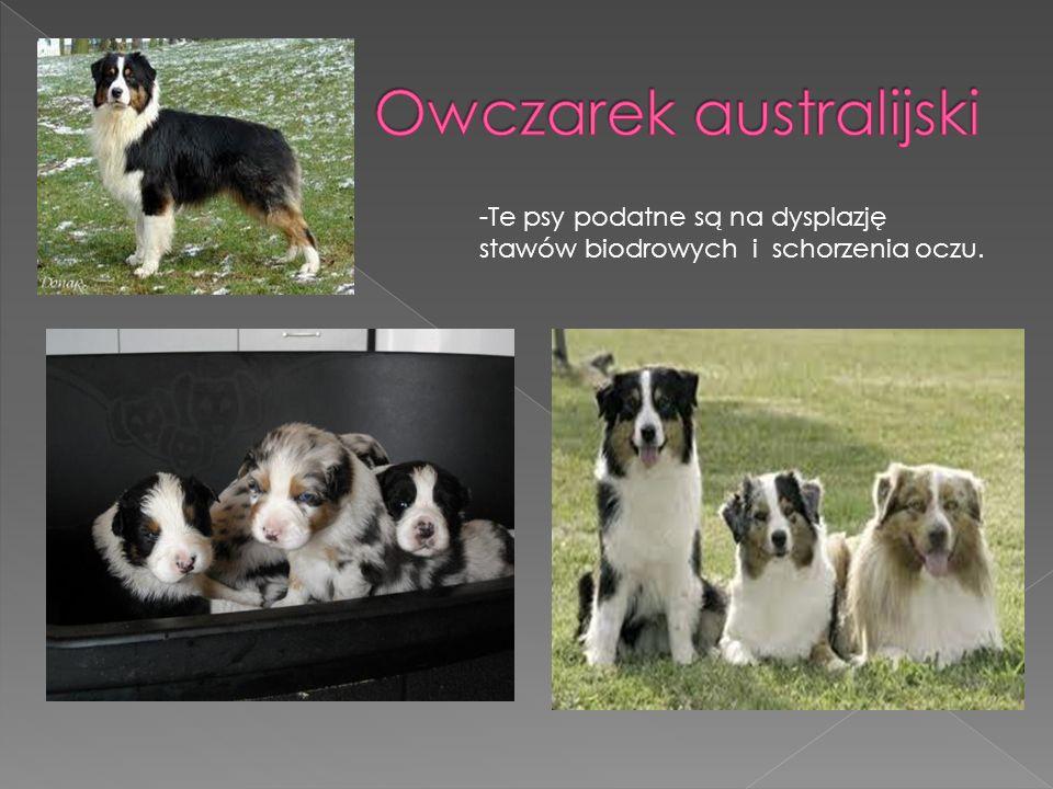 - Zdarzają się tym psom choroby stawów i dziedziczne schorzenia oczu.